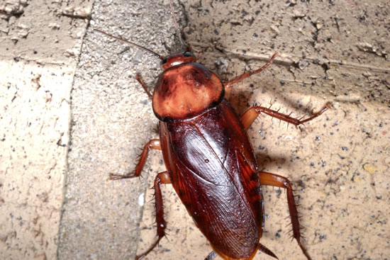 Cockroach Exterminator - Killeen, Temple & Central Texas