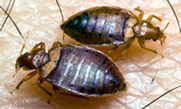 Bedbug Control - Killeen, Temple, Belton, Salado, Nolanville, Copperas Cove, Harker Heights, Fort Hood