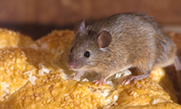 Rodent Control - Killeen, Temple, Belton, Salado, Nolanville, Copperas Cove, Harker Heights, Fort Hood